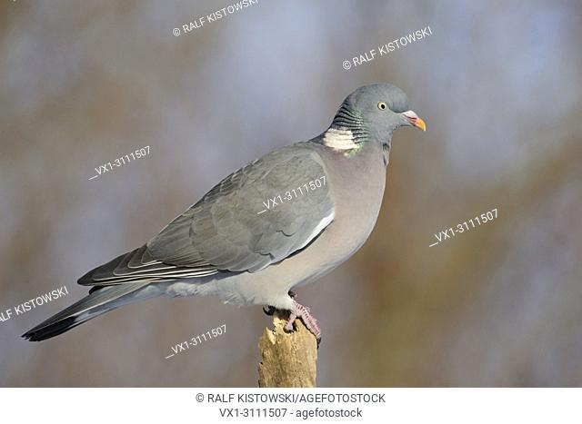 Pretty Wood Pigeon / Ringeltaube ( Columba palumbus ) perched on wooden stick in front of a wonderful clean background, close up, detailed side view