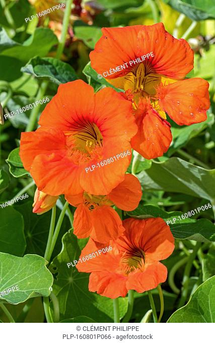 Garden nasturtium / Indian cress/ monks cress (Tropaeolum majus) in flower, native to the Andes from Bolivia north to Colombia