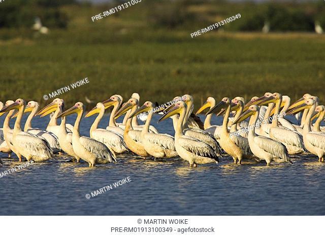 White pelican, Pelecanus onocrotalus