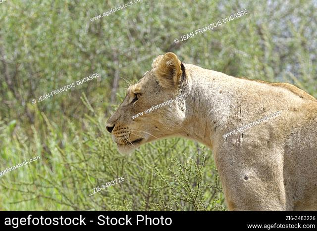 Lioness (Panthera leo), adult female walking, Kgalagadi Transfrontier Park, Northern Cape, South Africa, Africa