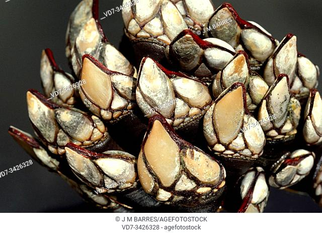 Goose barnacle or goose neck barnacle (Pollicipes pollicipes or Pollicipes cornucopia) is an edible crustacean native to eastern Atlantic coasts from France to...