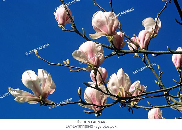Campbell's Magnolia Magnolia campbellii is a species of Magnolia that grows in sheltered valleys in the Himalaya from eastern Nepal