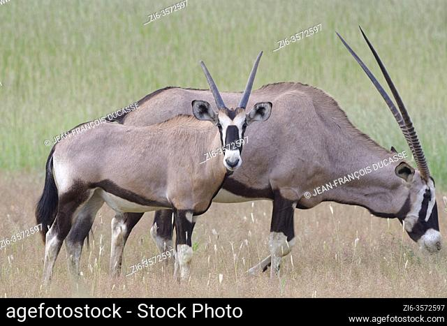 Gemsboks (Oryx gazella), mother foraging with young male oryx, in the tall grass, Kgalagadi Transfrontier Park, Northern Cape, South Africa, Africa