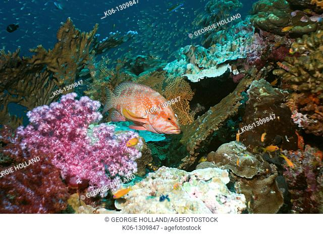Coral hind Cephalopholis miniata on coral reef with soft corals Andaman Sea, Thailand