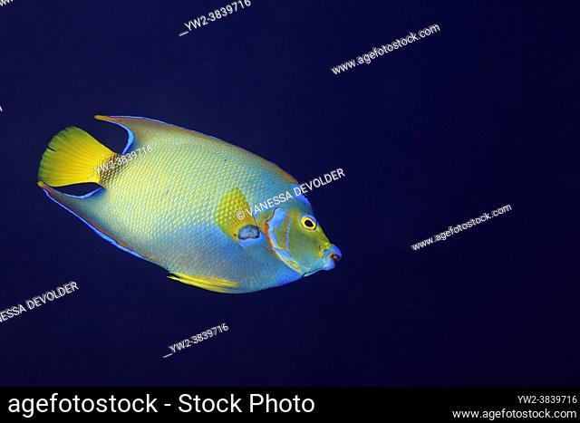 Queen angelfish in the Caribbean sea around Bonaire