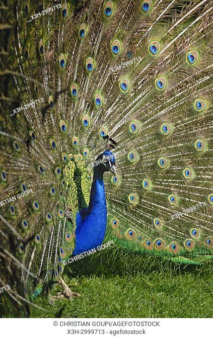 Indian peafowl or blue peafowl (Pavo cristatus), ZooParc de Beauval, Loir-et-Cher department, Centre-Val de Loire region, France, Europe