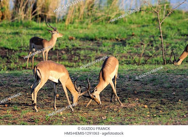 South Africa, Mpumalanga region, the South Kruger National Park, impala (Aepyceros melampus)