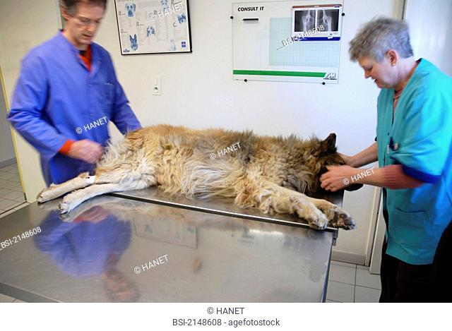 10-year-old dog, breed Belgian Tervueren suffering from a large spleen tumor. This dog will undertake a laparotomy exploration of the abdominal cavity