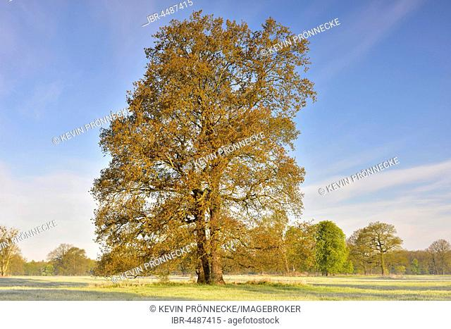 Solitary oak, English oak (Quercus robur) in spring, Middle Elbe Biosphere Reserve, Saxony-Anhalt, Germany