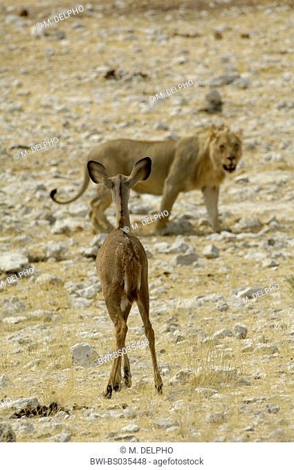 greater kudu (Tragelaphus strepsiceros), kudu watching alerted a lion, Namibia, Etosha NP