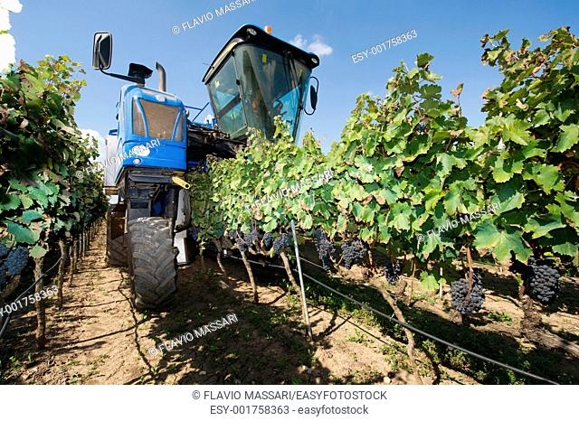 Harvesting with machine in a vineyard in Salento region, South-east Italy