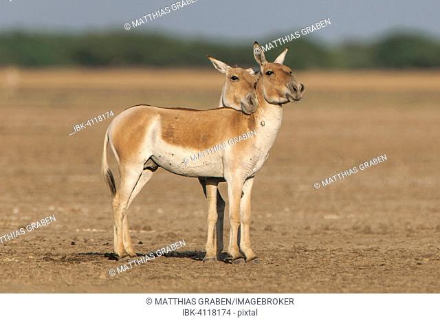Onagers or Asiatic wild asses (Equus hemionus), endangered species, showing dominance through head gestures, Little Rann of Kutch, Gujarat, India