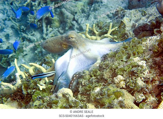 Reef octopus, Octopus cyanea, crawling over reef, Ailuk atoll, Marshall Islands, Pacific