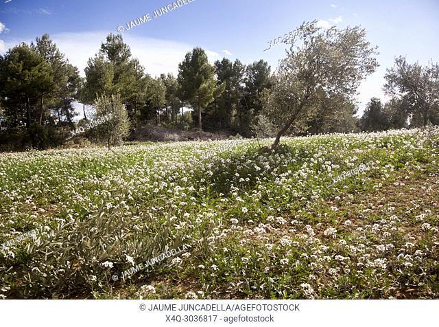 Olive tree. Teruel province. Aragon, Spain
