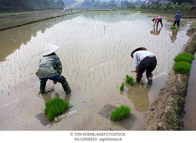 Rice cultivation in Sapa, Northern Vietnam