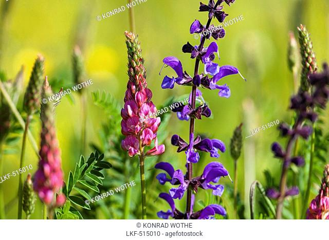 blooming meadow with Salvia pratensis and Onobrychis viciifolia, Upper Bavaria, Germany