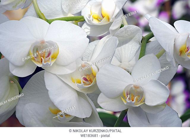 Moth orchid (Phalaenopsis x hybridus)