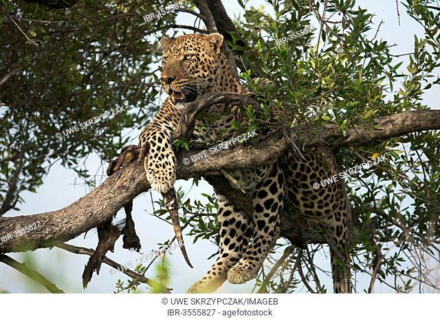 Leopard (Panthera pardus) in a tree