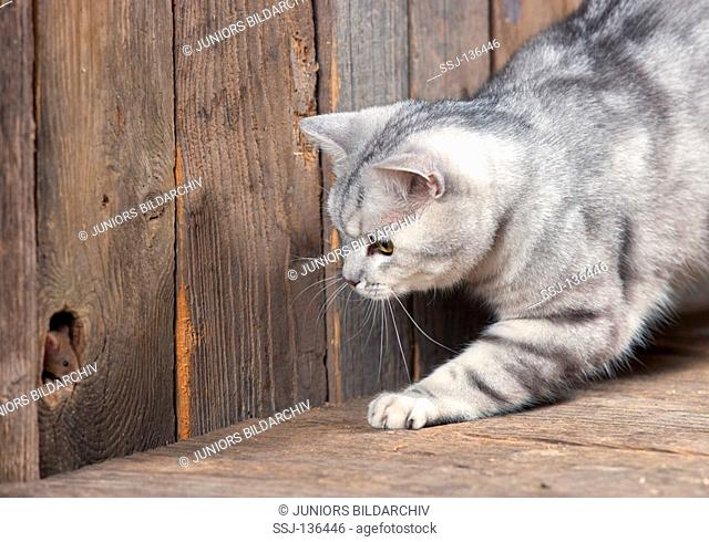 British Shorthair cat watching mouse restrictions: Tierratgeber-Bücher / animal guidebooks