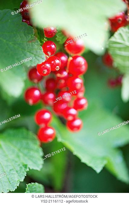 Closeup of bush with ripe redcurrant berries growing in garden