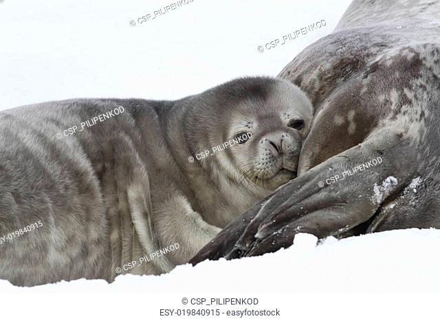 Weddell seal pup who leaned his head on the female