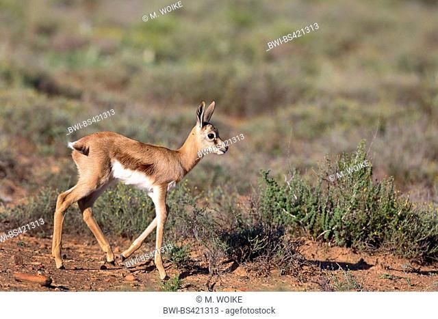 springbuck, springbok (Antidorcas marsupialis), walking young springbok in savanna, South Africa, Eastern Cape, Camdeboo National Park