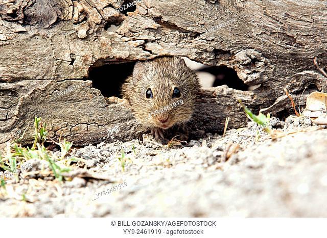 Hispid Cotton Rat (Sigmodon hispidus) - Camp Lula Sams - Brownsville, Texas, USA