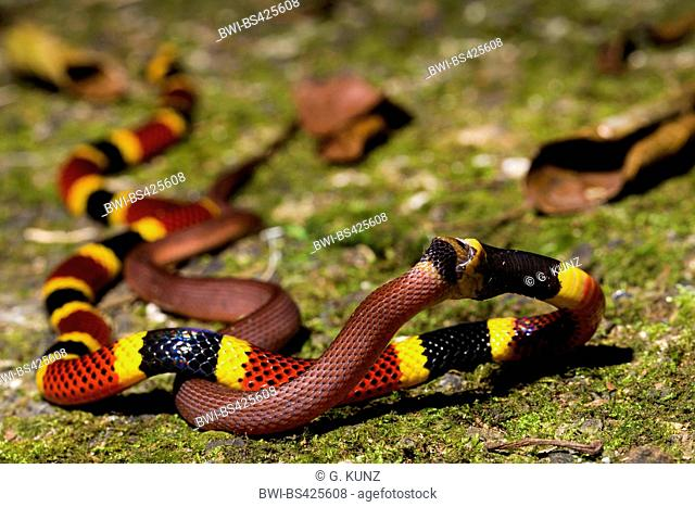 Costa Rican Coral Snake (Micrurus mosquitensis), feeds another snake, Costa Rica