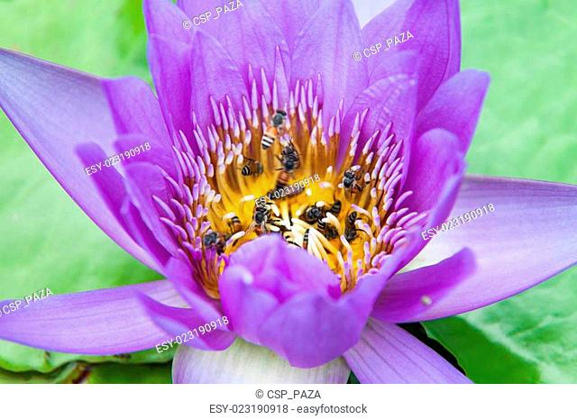 Bee in lotus and leaf background