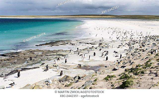 Gentoo Penguin (Pygoscelis papua) on the Falkland Islands, groups on a wide sandy beach. South America, Falkland Islands, January