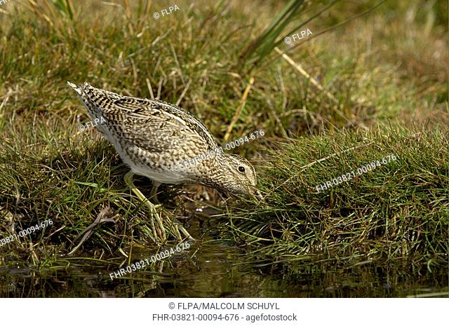 Magellanic Snipe Gallinago paraguaiae magellanica adult, feeding, probing at waters edge, Sea Lion Island, Falkland Islands