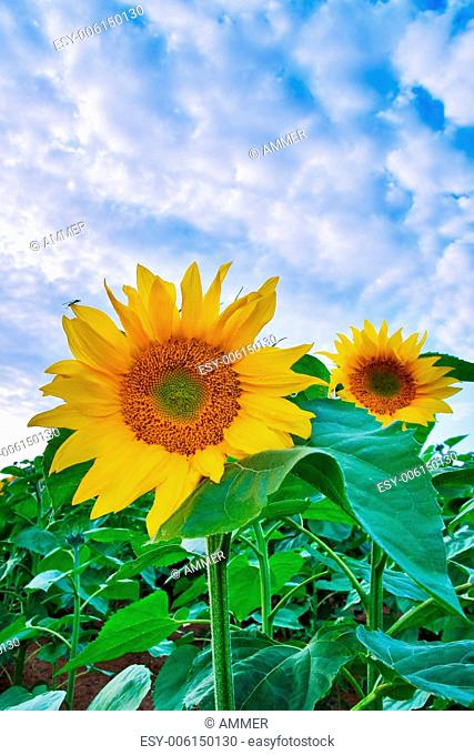 Two flowering sunflower against blue heaven with fluffy white clouds