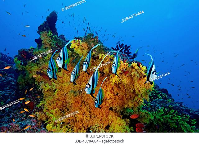 A school of longfin bannerfish Heniochus acuminatus, also known as pennant coralfish or coachman, in front of a large colony of Scleronephthya soft coral