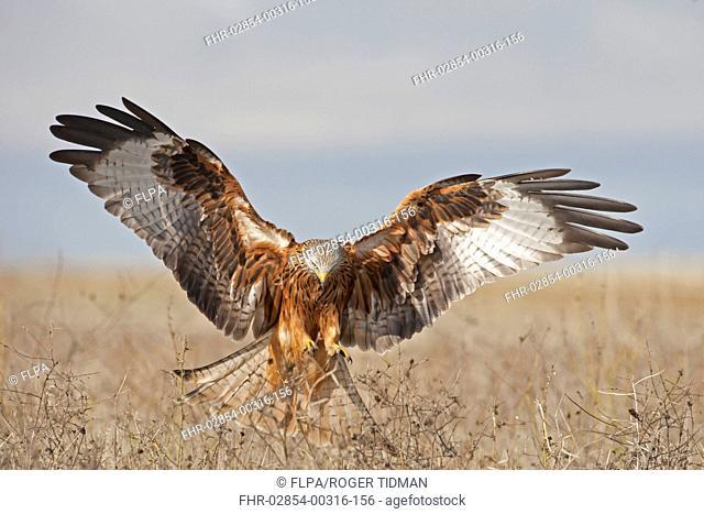 Red Kite Milvus milvus adult, in flight, landing with wings spread, Northern Spain, November