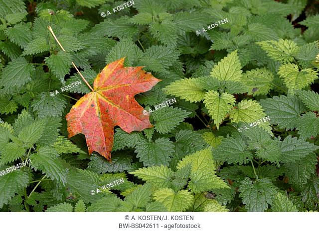 Norway maple (Acer platanoides), autumn coloured leaf lying on stinging nettle, Urtica dioica