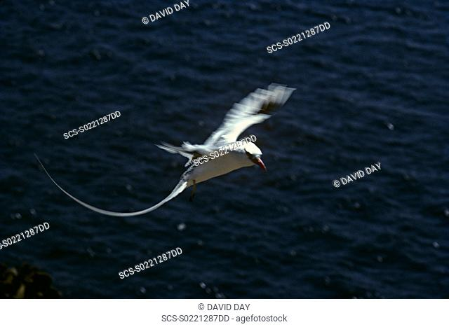Red-billed tropicbird coming in to land Phaethon aethereus South Plaza Island, Galapagos, Ecuador