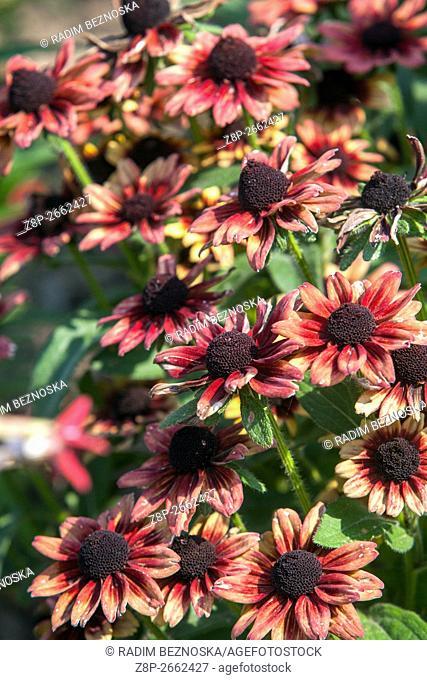 "Rudbeckia hirta """"Cherry Brandy"""" blooming"