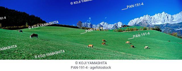 Cattle Graze in Alps, Wilder Kaiser, Going, Austria