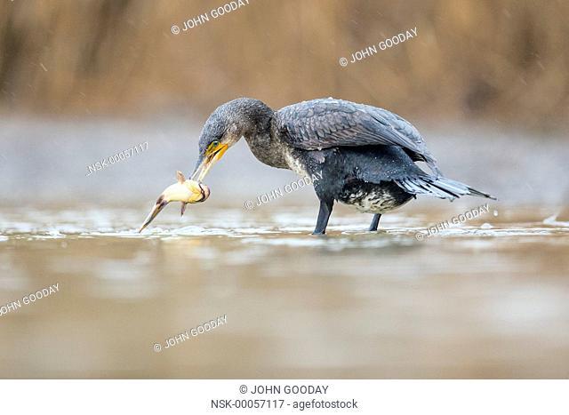 Great Cormorant (Phalacrocorax carbo) catching a fish, Hungary, Bacs-Kiskun, Kiskunsagi National Park