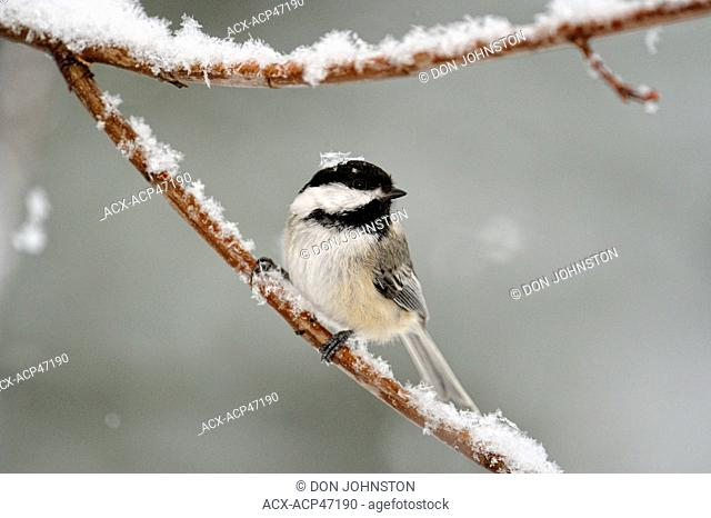 Black-capped Chickadee Poecile atricapillus Perching in April snowstorm