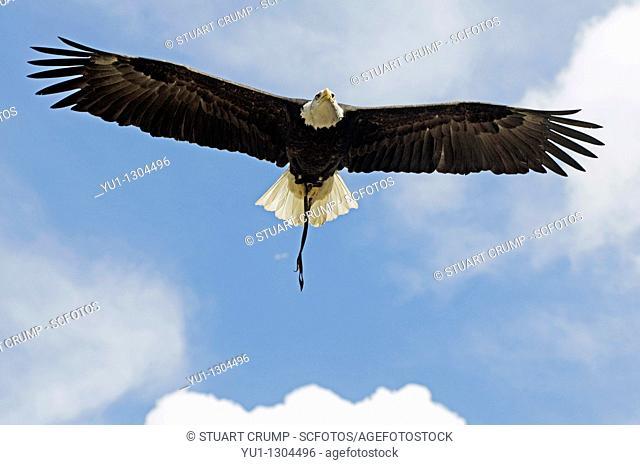 Bald Eagle bird of prey in full flight