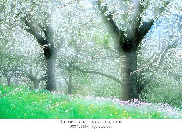 Cherry trees in blossom, Witzenhausen, Hessen, Germany