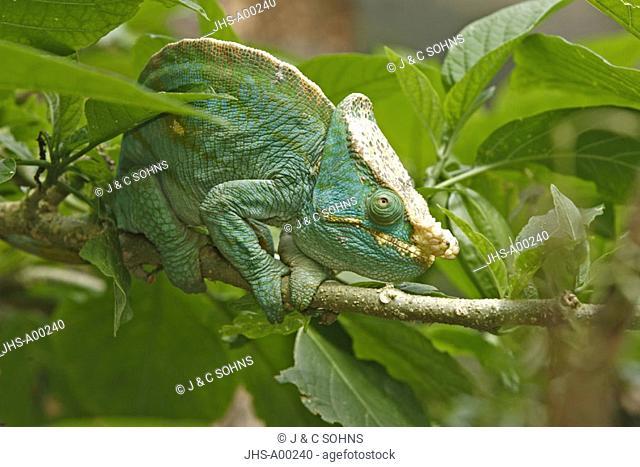 Parson's chameleon, Calumma parsonii, Madagascar, adult male