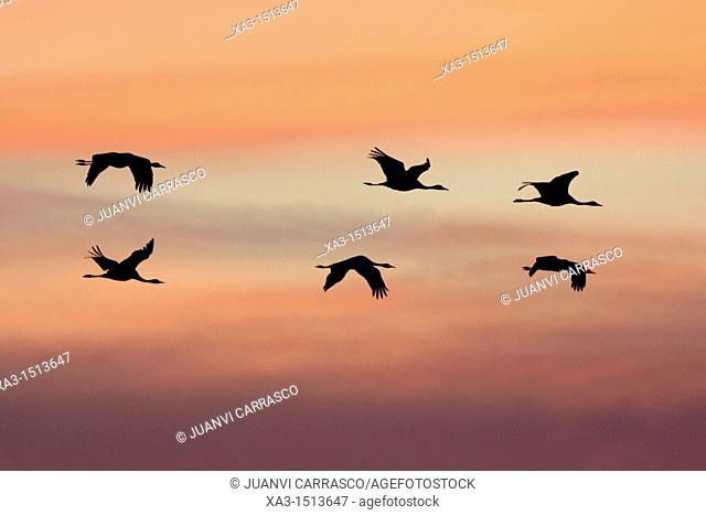 Flok of common cranes, Grus grus, in flight at sunset, Gallocanta, Teruel, Spain