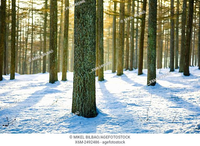 European larch forest in winter. Saldropo, Gorbeia Natural Park, Biscay, Spain, Europe