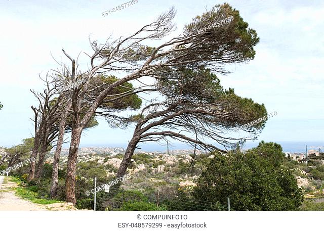 the trees on Maddalena bend from the same direction because of the often strong wind