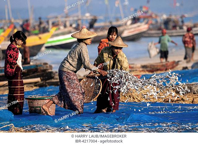 Local women spreading out freshly caught fish to dry on blue nets on the beach of the fishing village Ngapali, fishing boats behind, Thandwe, Rakhine State