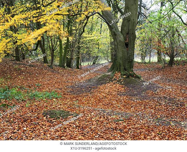 A carpet of fallen leaves in autumn woodland at Hornbeam Park Harrogate North Yorkshire England