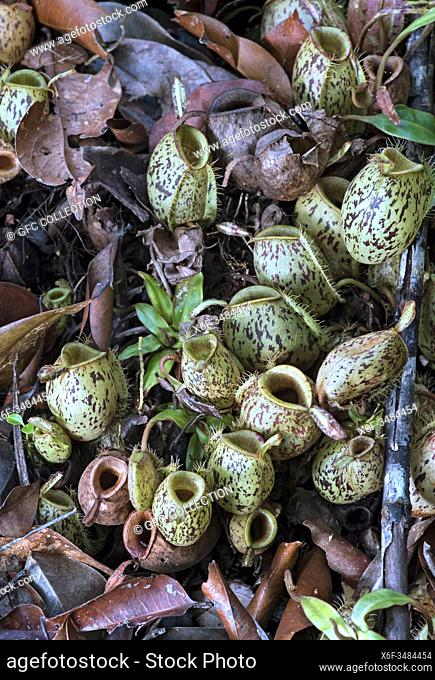 Cluster of ground pitchers of Nepenthes ampullaria in situ, Pitcher plant family (Nepenthaceae), Kinabatangan river flood plain, Sabah, Borneo, Malaysia