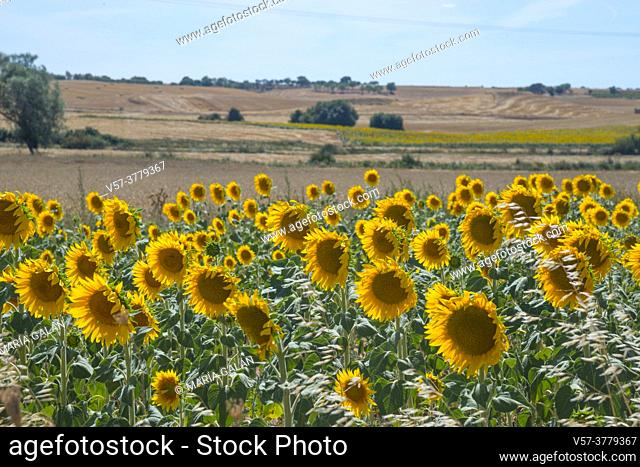 Sunflowers field. Castilla Leon, Spain